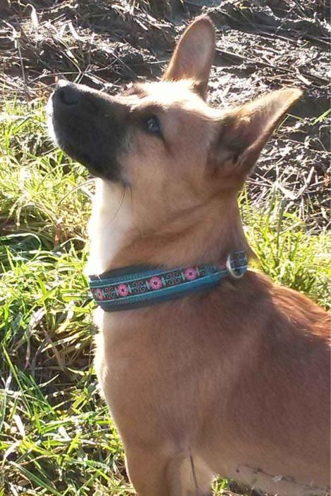Samy - trägt extra angepasstes Zugstoppelhalsband von Rasselhunde